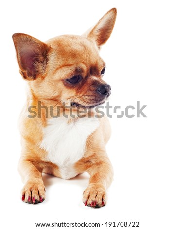 Purebred chihuahua dog isolated on white background.