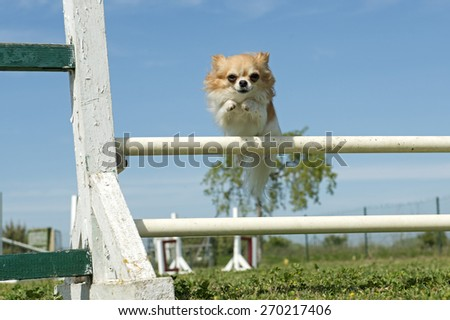 purebred chihuahua in a training of agility - stock photo