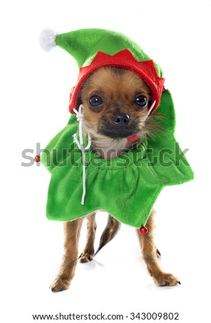 purebred chihuahua in front of white background