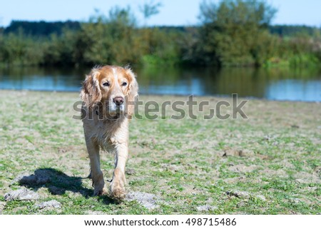 Purebred Cocker Spaniel on a background of the sandy hill and green grass. On the river bank.