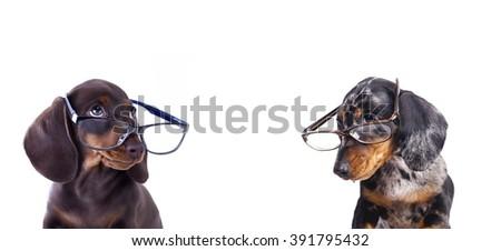 purebred dachshundr in glasses  - stock photo