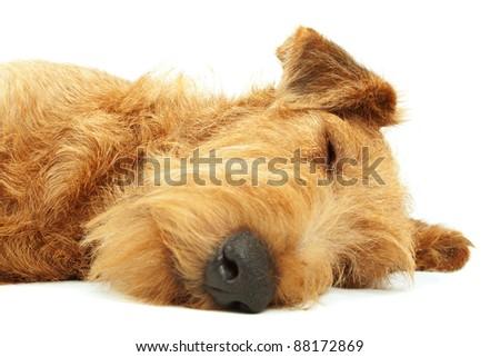 Purebred dog Irish Terrier lying and sleeping on a white background - stock photo