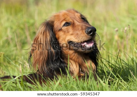purebred dogs dachshund - stock photo