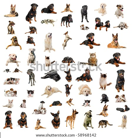 purebred dogs, puppies and cats on a white background - stock photo