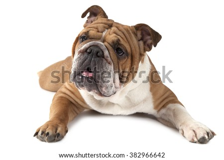 Purebred English Bulldog lying on white background and looking forward