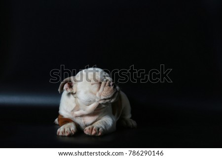 purebred English Bulldog puppy action on back screen