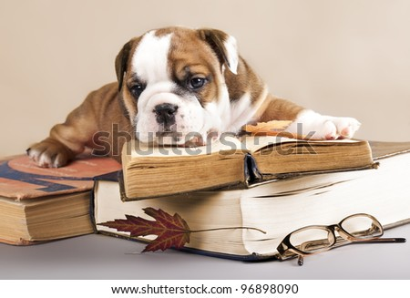 purebred english Bulldog puppy and book - stock photo