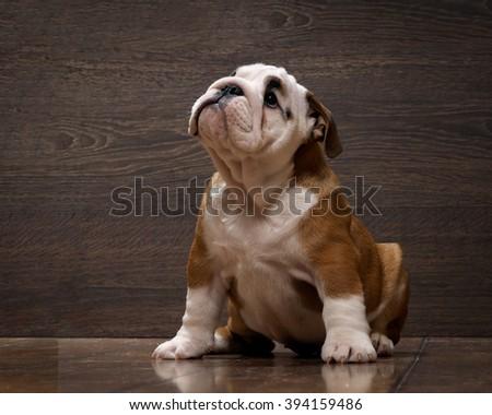 Purebred English bulldog puppy. Puppy 3 months. Dog sitting on the wooden floor. Portrait of an elite puppy - stock photo