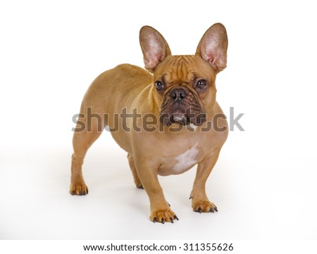 Purebred French Bulldog isolated on white background in studio.