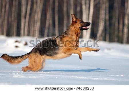 purebred german sheherd running in the snow - stock photo