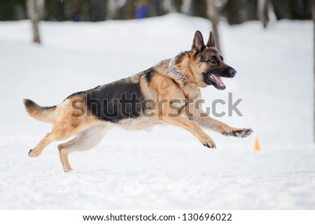 purebred german shepherd running fust in winter - stock photo