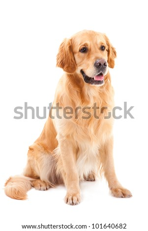 purebred golden retriever dog sitting on isolated  white background - stock photo