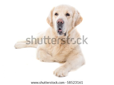 purebred golden retriever sitting in front of a white background