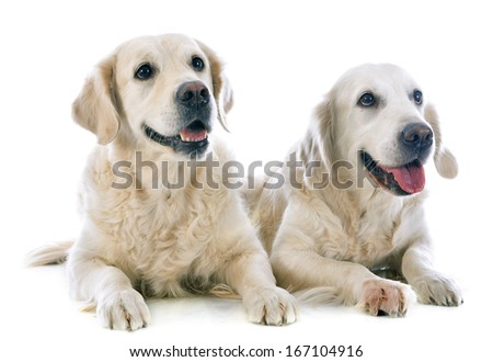 purebred golden retrievers  in front of a white background