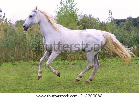 Purebred gray arabian mare galloping on pasture summertime