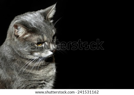 Purebred gray cat looking down - stock photo