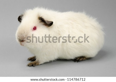 purebred Himalayan US-Teddy guinea youth in profile - stock photo
