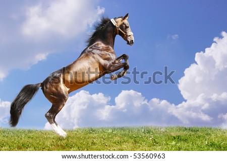 purebred horse jumping - stock photo