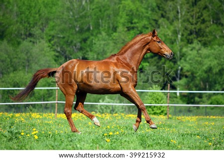 Purebred horse racer on a meadow against woods - stock photo
