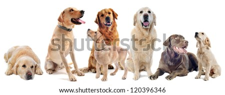 purebred labrador and golden retriever in front of a white background - stock photo