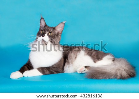 Purebred Maine Coon cat on a blue background  - stock photo