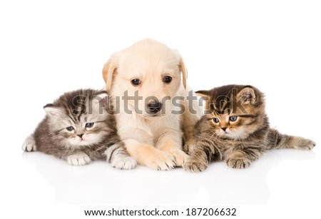 purebred puppy dog and two british kittens lying in front. isolated on white background - stock photo