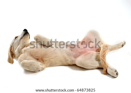 purebred puppy golden retriever in front of a white background