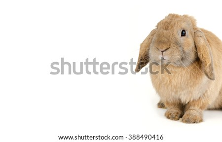 Purebred rabbit. Isolated on white background, with negative space - stock photo