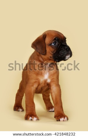 Purebred red boxer puppy stands in the exhibition position on a yellow background