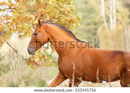 Purebred red horse running free in autumn landscape - stock photo