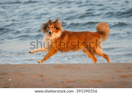Purebred Rough Collie dog portrait  in outdoors - stock photo