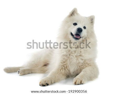 purebred Samoyed in front of white background - stock photo