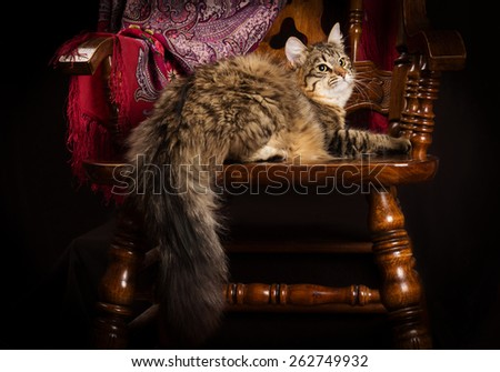 purebred Siberian cat lying on a chair. - stock photo