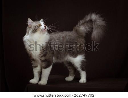 purebred Siberian cat on dark brown background. - stock photo