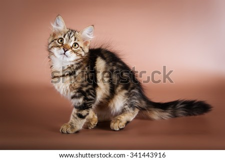 purebred Siberian cat sitting on brown background. - stock photo