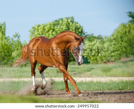 Purebred stallion playing in paddock in summer - stock photo