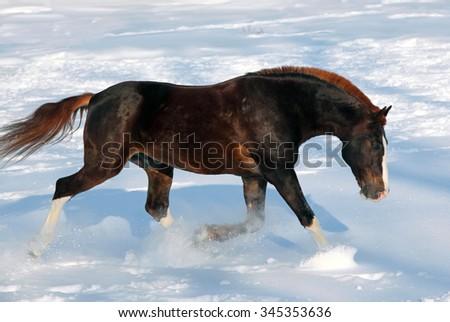 Purebred stallion runs gallop in snowdrift  - stock photo