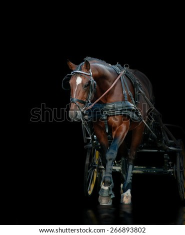 Purebred trotter stallion with race wagon walks over a black background - stock photo