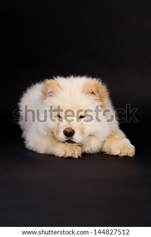 Purebred, white puppy chow chow - stock photo