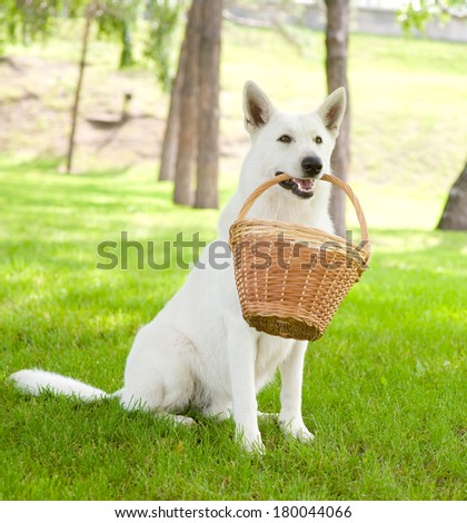 Purebred White Swiss Shepherd holding a basket in its mouth - stock photo