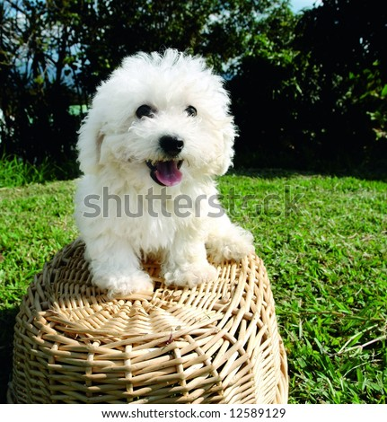 Purebreed bichon frise puppy on a basket - stock photo