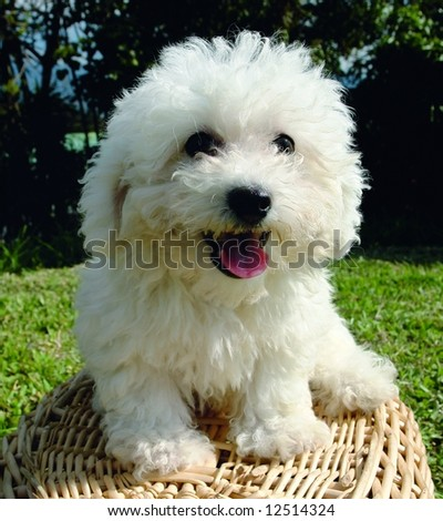Purebreed bichon frisee puppy on a basket - stock photo