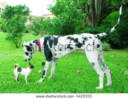 Purebreed chihuahua puppy and a great dane sniffing each other - stock photo