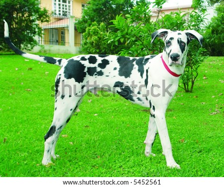 Purebreed great dane dog standing sideways - stock photo