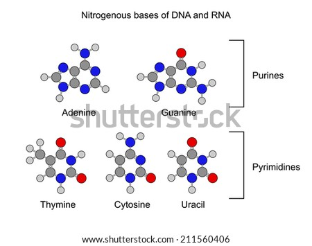 Purine and pyrimidine nitrogenous bases - structural chemical formulas, 2d illustration, isolated on white background, circles and sticks style, raster - stock photo