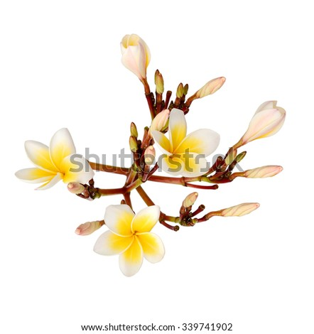 purity of white Plumeria or Frangipani flowers. blossom of tropical tree - stock photo