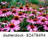 Purple and orange perennial cone flowers Echinacea Purpurea Maxima  in a garden - stock photo