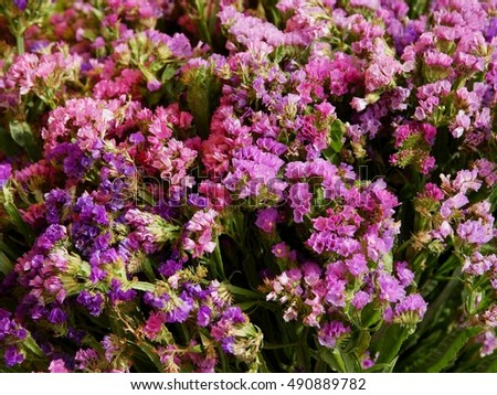 purple and pink flower of statice plant
