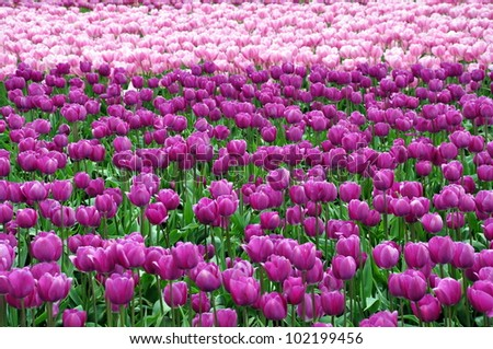 Purple and pink tulips - stock photo