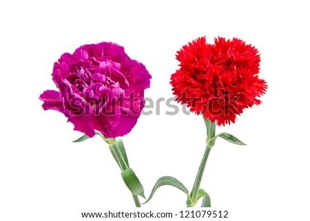 Purple and Red carnation flower - stock photo